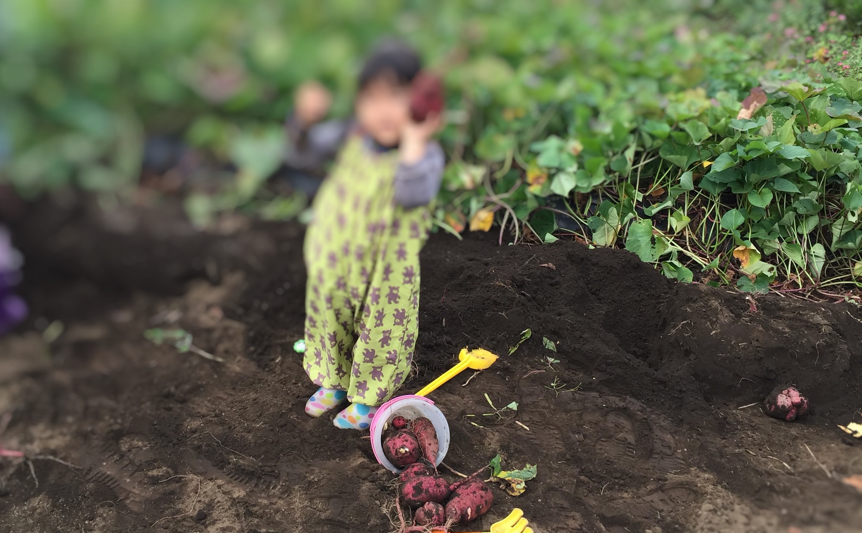 子どものさつまいも掘り体験
