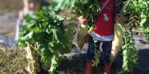 大根収穫体験で大根が好物に
